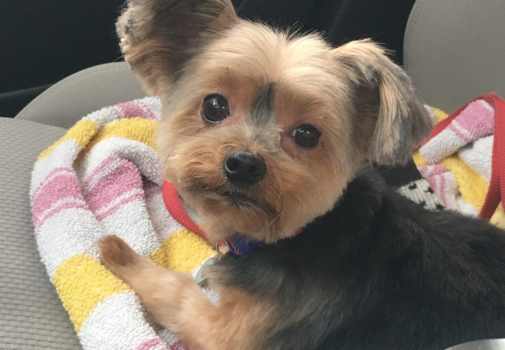 Brown and tan yorkie named Hildy